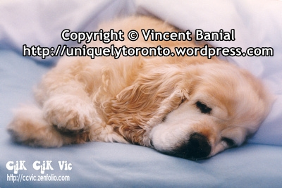 Photo of an American Spaniel. Photo credit Vincent Banial